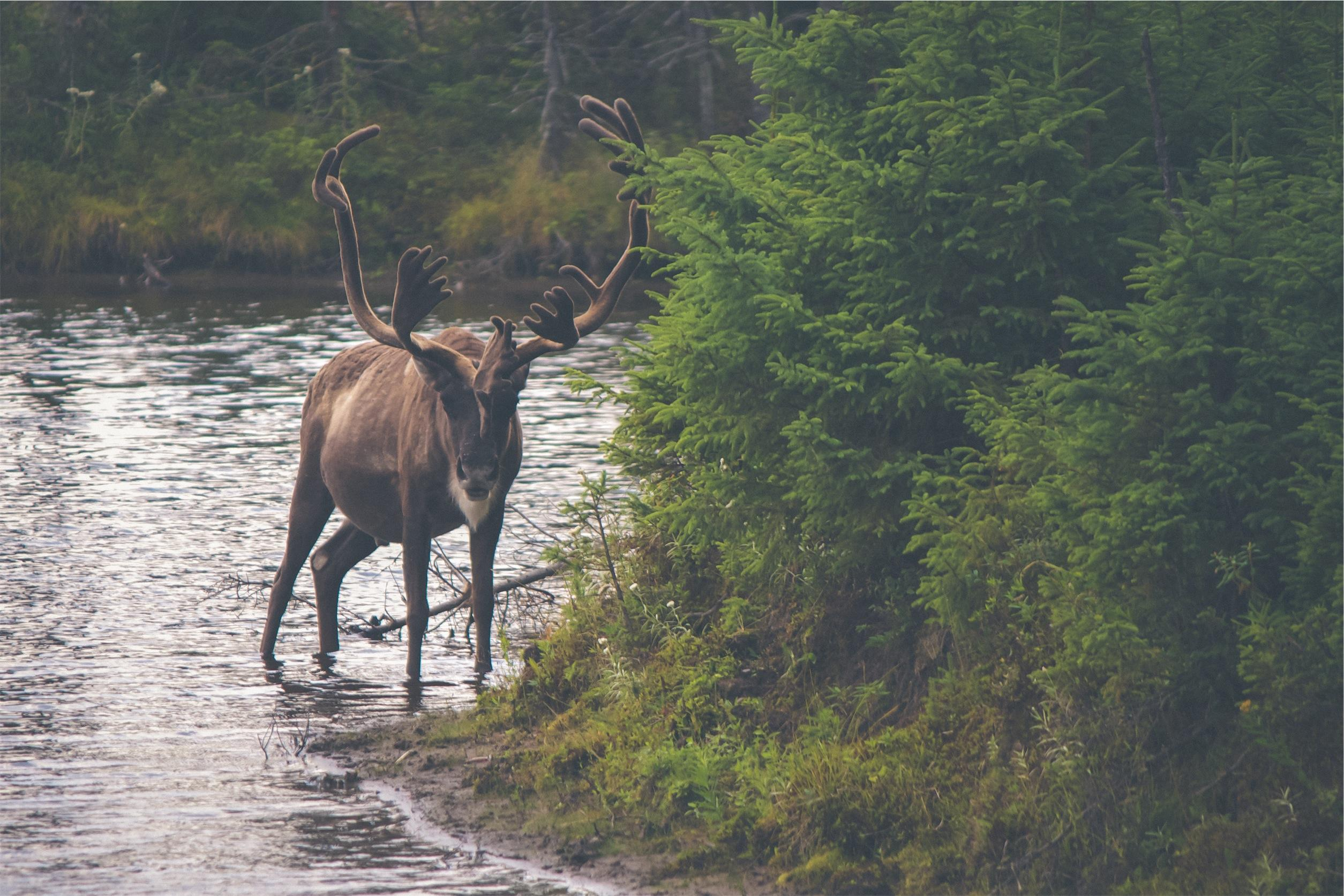 Elk in a stream