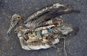 """Bird filled with plastic. Photo courtesy of http://www.simple-green-living.com,  Simple Green Living, """"One Step at a Time"""""""